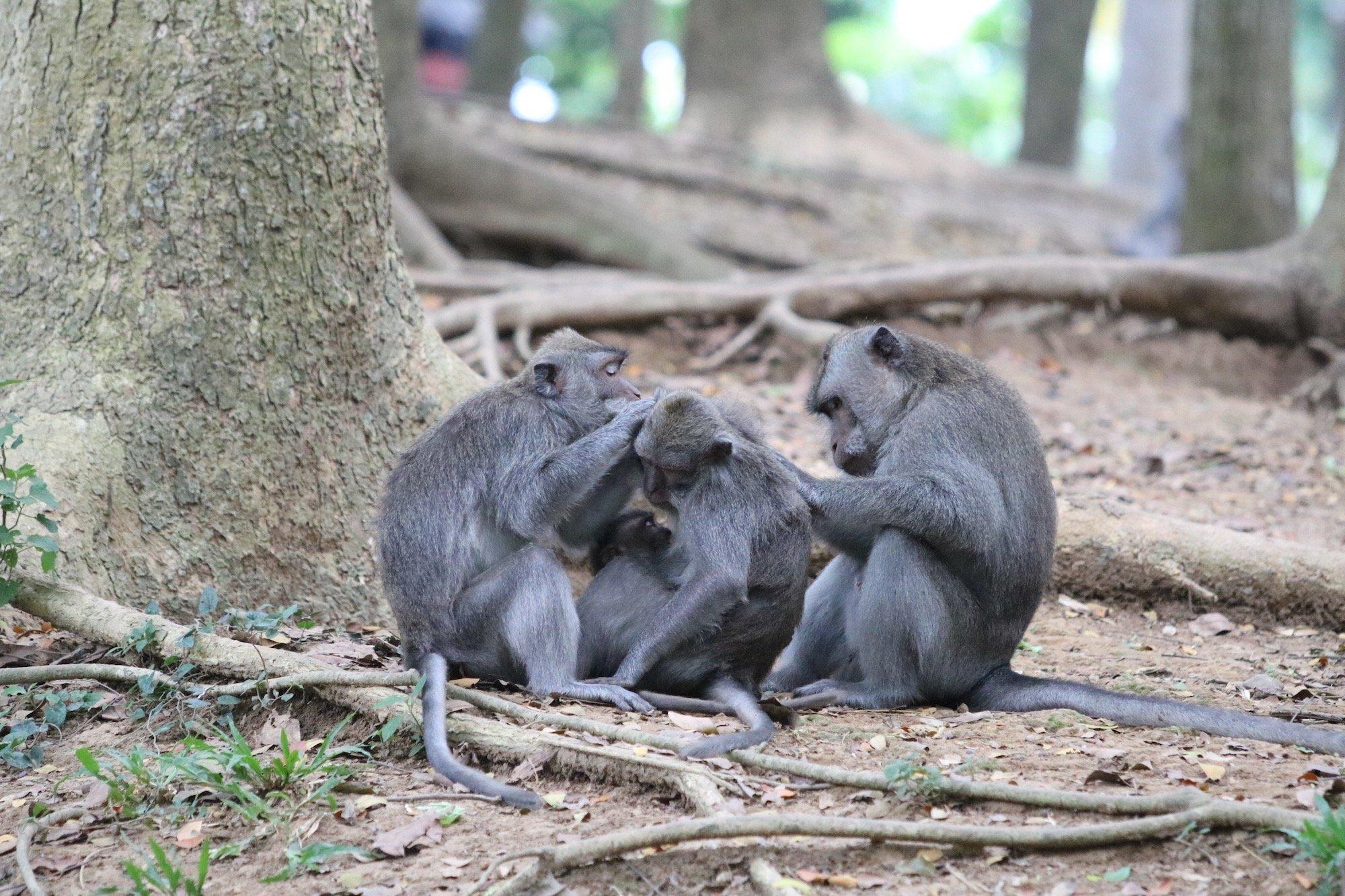 Macaque Family
