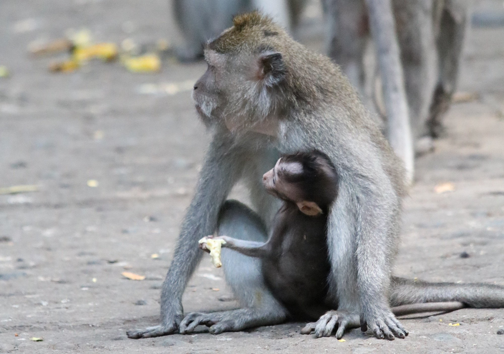 Macaque baby and mom