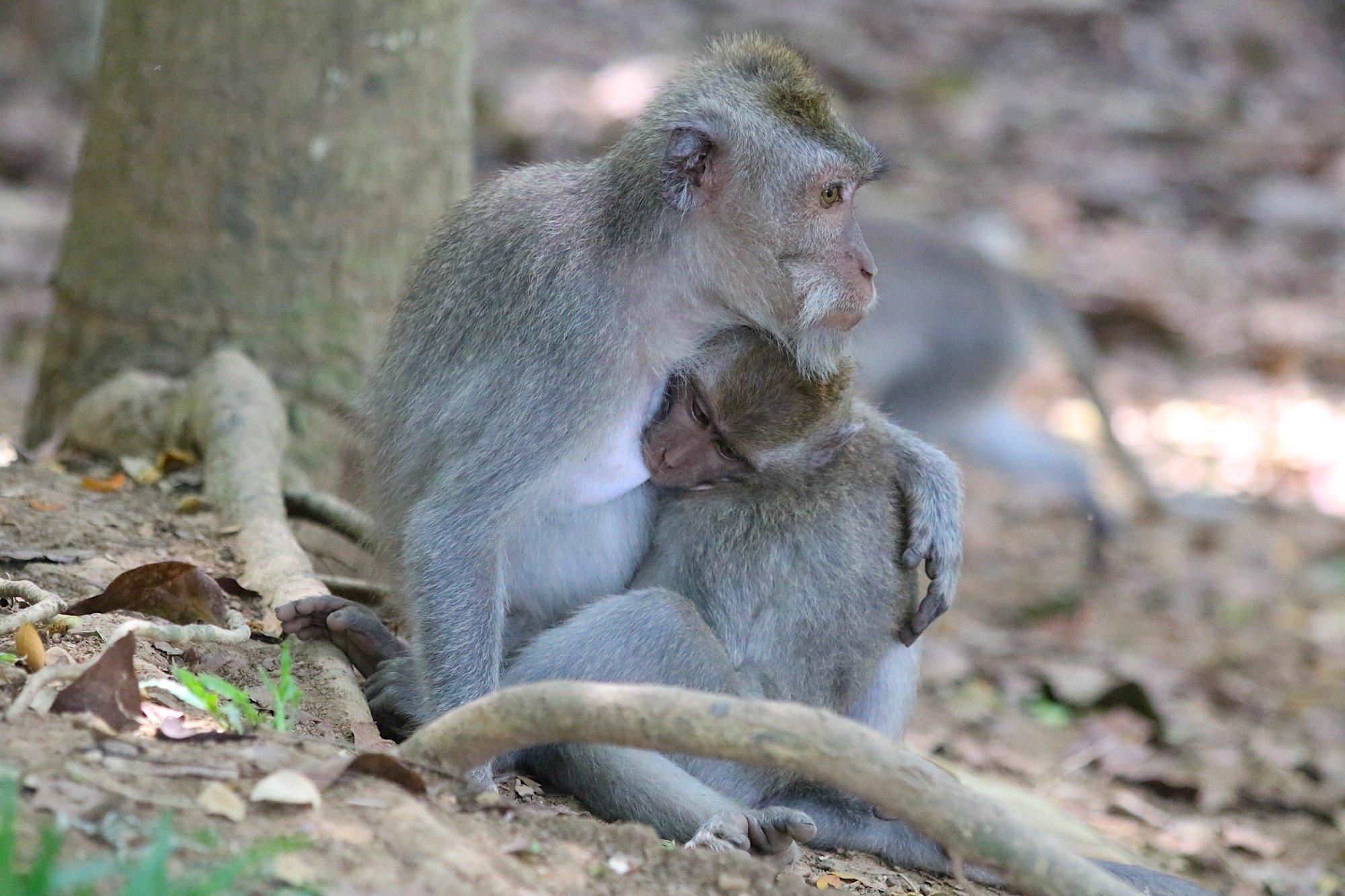 Macaque breast feeding