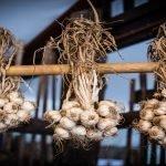 Garlic protection